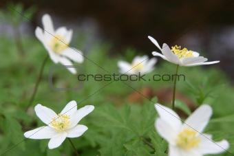Five white anemones