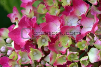 First small blossoms on hydrangea