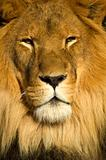 Lion 4