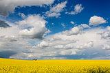 Rapeseed field (Brassica napus).