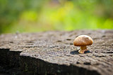 mushroom hallucinogen