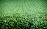the tea field