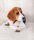 Beagle pet