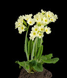 Oxlip, Primula Elatior on Black Background