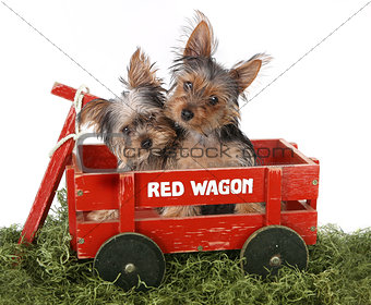 Adorable Yorkshire Terrier Puppies in Red Wagon