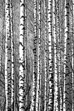 Spring sunny trunks birch trees black and white
