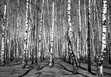 Spring sunny birch grove black and white