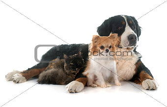 cat and dogs
