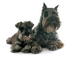 two Miniature Schnauzer