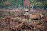 Majestic red deer stag in Autumn Fall forest landscape