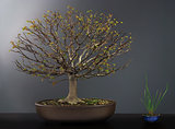 Spring bonsai elm tree