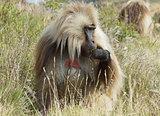 Gelada, Semien Mountains, Ethiopia, Africa