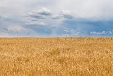 Barley field and a blue sky with clouds