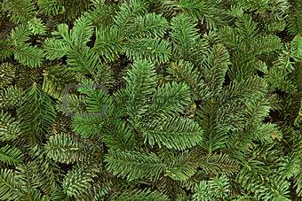 Blue Spruce Fir