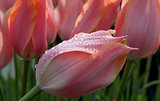 pink tulip with water drops