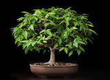 Bonsai summer elm tree
