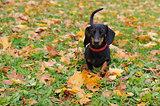 Portrait of a black dachshund