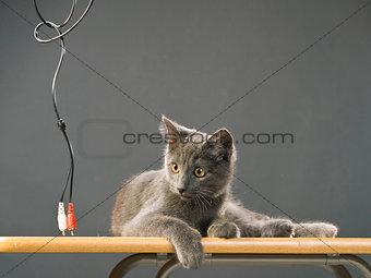 Breed Russian Blue cat