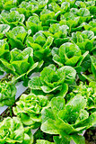 Organic hydroponic vegetable cultivation farm.