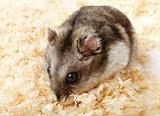Djungarian hamster in sawdust