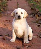 yellow happy labrador puppy in autumn