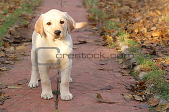 a yellow happy labrador puppy in autumn