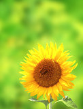Sunflower on green background