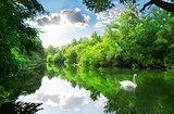 White swan on river