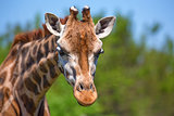 Closeup of giraffe