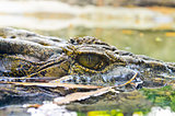 Eyes of the crocodile in water