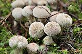 starfish fungus