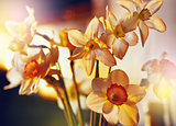 Spring flowers daffodils in the golden sunlight