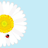 Ladybird on daisy flower over blue background