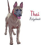 vector red Thai Ridgeback Dog breed standing