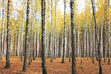 Autumn trees with yellowing leaves