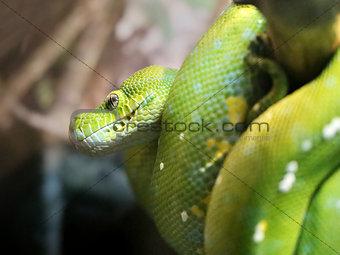 Green python