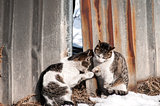 Street cats on grunge tin wall