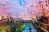 cherry blossoms, busan city in south korea