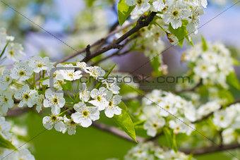 Blooming Flowering Tree in Spring