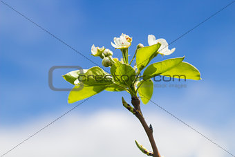 Blooming Pear Tree Branch