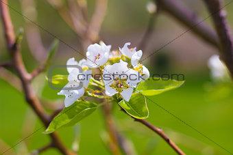 Blooming Pear Tree Flowers