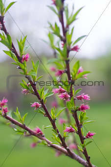 Blooming Peach Tree Branches