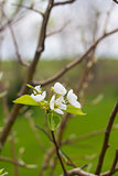 Blooming Pear Tree Flowers