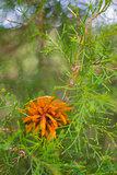 Cedar Apple Rust Orange Fungi on Cedar Tree