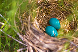 Two Blue Eggs in Nest