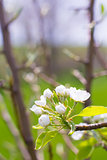 Closeup of a Flowering Plum Tree