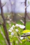Closeup of a Flowering Plum Tree