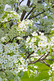 Ornamental Pear Tree Blooming