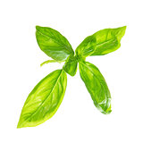 Fresh sweet basil leaves