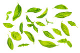 Scattered sweet basil leaves